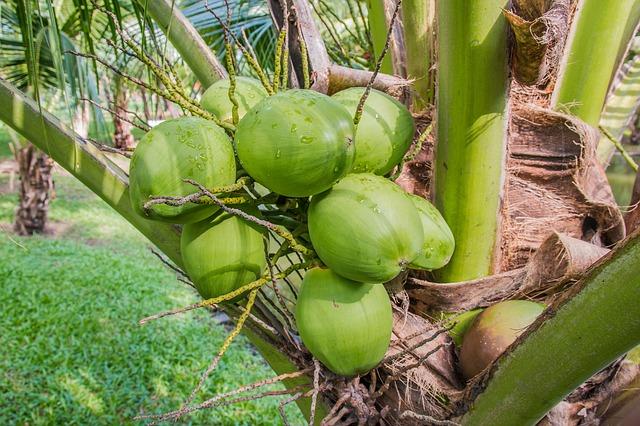 kokosový ořech ve slupce